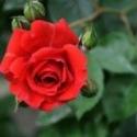 玫瑰s242